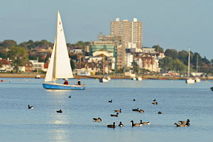 Leigh-on-Sea town with sailing dinghy and flock of Dark-bellied brent geese (Branta bernicla bernicla) in the foreground, Leigh-on-Sea, Essex, UK, October 2010  -  Terry Whittaker / 2020VISION