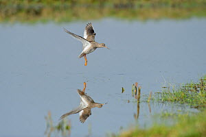 Redshank (Tringa totanus) landing on grazing marsh, North Kent, UK, March - Terry Whittaker / 2020VISION