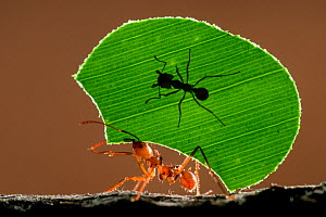 Leaf cutter ant (Atta sp) female worker carrying leaf to nest, with a smaller 'minor' ant riding. The minor's job is to protect her sister from parasitic flies. Costa Rica, December. Highly Commended,... - Bence Mate