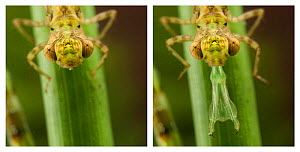 Darner Dragonfly (Aeshna) nymph; sequence with its specialised mouthparts retracted and extended. Europe, August.  -  Jan Hamrsky