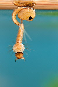 Mosquito (Culex pipiens) larva below its pupa case. Europe, August. - Jan Hamrsky