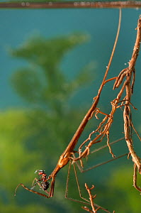 Needle Bug / Water Stick Insect (Ranatra linearis) mimicking roots with ant prey. Europe, August.  -  Jan Hamrsky
