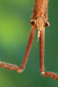 Needle Bug / Water Stick Insect (Ranatra linearis) portrait. Europe, August. - Jan Hamrsky