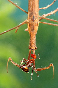 Needle Bug / Water Stick Insect (Ranatra linearis) with ant prey. Europe, August.  -  Jan Hamrsky