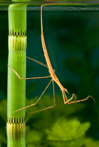 Needle Bug / Water Stick Insect (Ranatra linearis) awaiting prey. Europe, August.  -  Jan Hamrsky