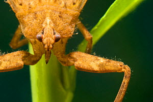 Water Scorpion (Nepa cinerea) portrait. Europe, July.  -  Jan Hamrsky