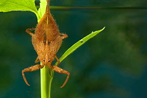 Water Scorpion (Nepa cinerea) awaiting prey. Europe, July.  -  Jan Hamrsky
