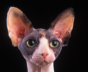 Domestic cat, Sphynx, Canadian hairless, head portrait. - Yves Lanceau