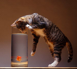 Domestic cat, brown tabby and white cat standing with head down looking into a tank of water containing a goldfish. - Yves Lanceau