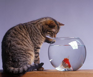 Domestic cat, brown tabby and white cat sitting, looking at fish with one paw on goldfish bowl. - Yves Lanceau