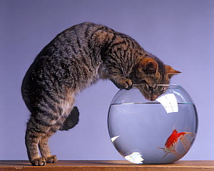 Domestic cat, brown tabby and white cat standing looking at fish with head in goldfish bowl. - Yves Lanceau