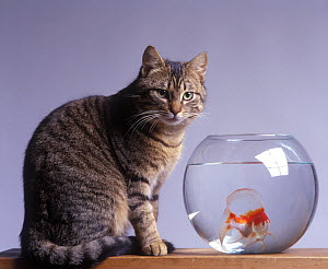 Domestic cat, brown tabby and white cat standing next to a glass bowl containing a goldfish. - Yves Lanceau