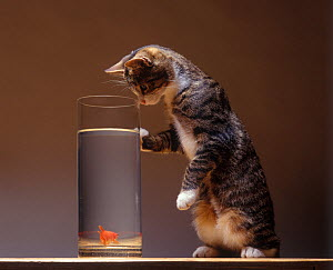 Domestic cat, brown tabby and white cat standing looking at goldfish fish with one paw on tank. - Yves Lanceau