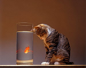 Domestic cat, brown tabby and white cat sitting looking at goldfish through glass tank. - Yves Lanceau