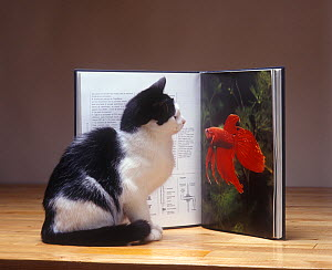 Domestic cat, domestic black and white shorthaired cat looking at a goldfish picture in a book. - Yves Lanceau