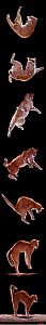 Digital composite - Sequence of eight showing a domestic cat, male red tabby falling and landing.  -  Yves Lanceau