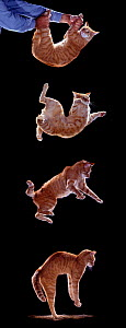 Digital composite - Sequence of four showing a domestic cat, male red tabby falling and landing.  -  Yves Lanceau