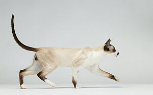Domestic cat, Siamese / Royal Cat of Siam, walking with tail up.  -  Yves Lanceau