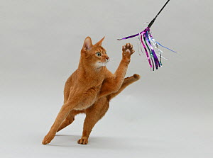 Domestic cat, Abyssinian, sorrel female, 3 years, attacking a toy with one paw. - Yves Lanceau