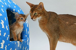 Domestic cat, Abyssinian, ruddy female with small kitten peeping out from an Igloo cat bed. - Yves Lanceau