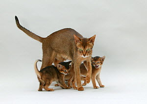 Domestic cat, Abyssinian, ruddy female with small kittens. - Yves Lanceau