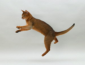 Domestic cat, Abyssinian, ruddy male, 18 month with all four legs off the ground jumping. - Yves Lanceau