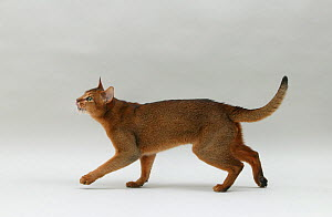 Domestic cat, Abyssinian, ruddy male, 18 month walking and looking up. - Yves Lanceau