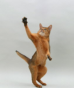 Domestic cat, Abyssinian, ruddy male, 18 month with standing on back legs reaching up. - Yves Lanceau