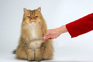 Domestic cat, longhaired Persian, golden male, 5 years, standing being groomed. - Yves Lanceau