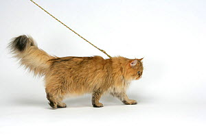 Domestic cat, longhaired Persian, golden male, 5 years on a lead. - Yves Lanceau