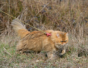 Domestic cat, longhaired Persian, golden male, 5 years, outdoors on a lead. - Yves Lanceau