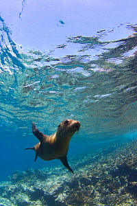 Galapagos sealion underwater (Zalophus californianus wollebaeki) Galapagos Islands, Pacific Ocean, November  -  Todd Mintz