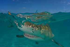 Lemon shark (Negaprion brevirostris) at surface, Bahamas, Caribbean - Todd Mintz