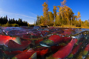 Sockeye salmon (Oncorhynchus nerka) split level view of annual spawning run, Adams River, British Columbia, Canada, October - Todd Mintz