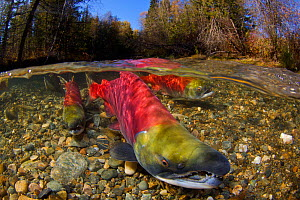 Sockeye salmon (Oncorhynchus nerka) split level view of salmon on river bed, annual spawning run, Adams River, British Columbia, Canada, October - Todd Mintz
