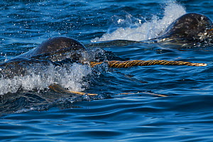 Narwhal (Monodon monoceros) pod surfacing, tusk visible, Arctic Bay, Baffin Island, Canada, June  -  Todd Mintz