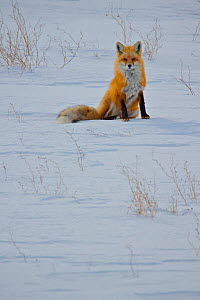 Red fox (Vulpes vulpes) sitting in snow, Regina Saskatchewan, Canada  -  Todd Mintz