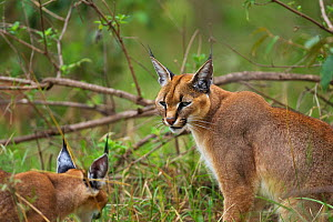 Caracal (Caracal caracal) two six months kittens, one sitting, Masai Mara National Reserve, Kenya, August  -  Anup Shah