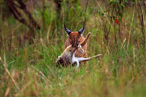 Caracal (Caracal caracal) six month kitten carrying an African hare that its mother has killed for it, Masai Mara National Reserve, Kenya, August  -  Anup Shah