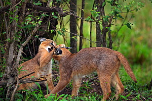 Caracal (Caracal caracal) two six month kittens play fighting, Masai Mara National Reserve, Kenya, August  -  Anup Shah