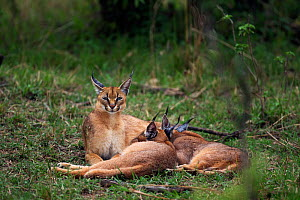 Caracal (Caracal caracal) two six month kittens suckling from mother, Masai Mara National Reserve, Kenya, August  -  Anup Shah