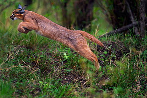 Caracal (Caracal caracal) six month kitten leaping over vegetation, Masai Mara National Reserve, Kenya, August  -  Anup Shah