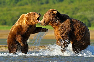 Two Grizzly bears (Ursus arctos horribilis) male (right) and female fighting over salmon, Katmai NP, Alaska, USA, August - Andy Rouse