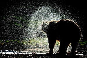 Grizzly bear (Ursus arctos horribilis) shaking dry after fishing for salmon, Katmai NP, Alaska, USA, August  -  Andy Rouse