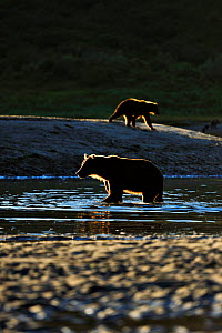 Grizzly bears (Ursus arctos horribilis) hunting for salmon on river, Katmai NP, Alaska, USA, August  -  Andy Rouse
