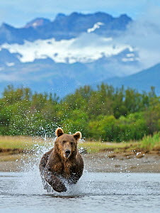 RF- Grizzly bear (Ursus arctos horribilis) leaping through water, chasing salmon. Katmai National Park, Alaska, USA, August. (This image may be licensed either as rights managed or royalty free.)  -  Andy  Rouse