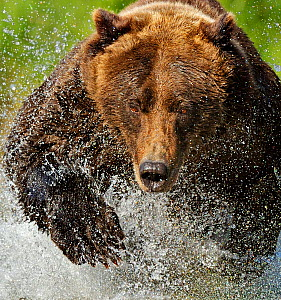 Grizzly bear (Ursus arctos horribilis) leaping through water chasing salmon, Katmai NP, Alaska, USA, September, (crop of image 01360394) Not available for ringtone/wallpaper use. - Andy Rouse
