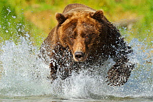 Grizzly bear (Ursus arctos horribilis) leaping through water chasing salmon, Katmai NP, Alaska, USA, September, (01360399 is a crop of this image)  -  Andy Rouse
