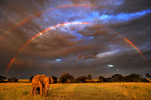 African elephant (Loxodonta africana) with double rainbow in background, Masai Mara GR, Kenya, January - Andy Rouse