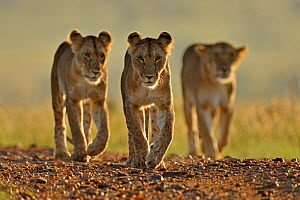 African lion (Panthera leo) three females from pride walking on road, Masai Mara GR, Kenya, January  -  Andy Rouse